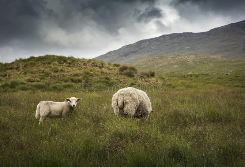 ιρλανδικά πρόβατα στοκ εικόνες με δικαίωμα ελεύθερης χρήσης