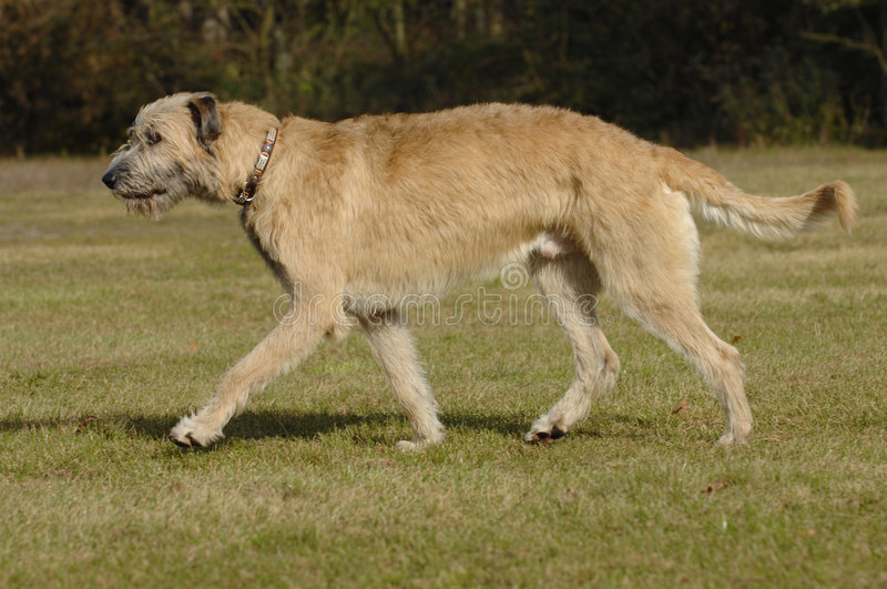 ιρλανδικός κινούμενος λύκος κυνηγόσκυλων στοκ εικόνες