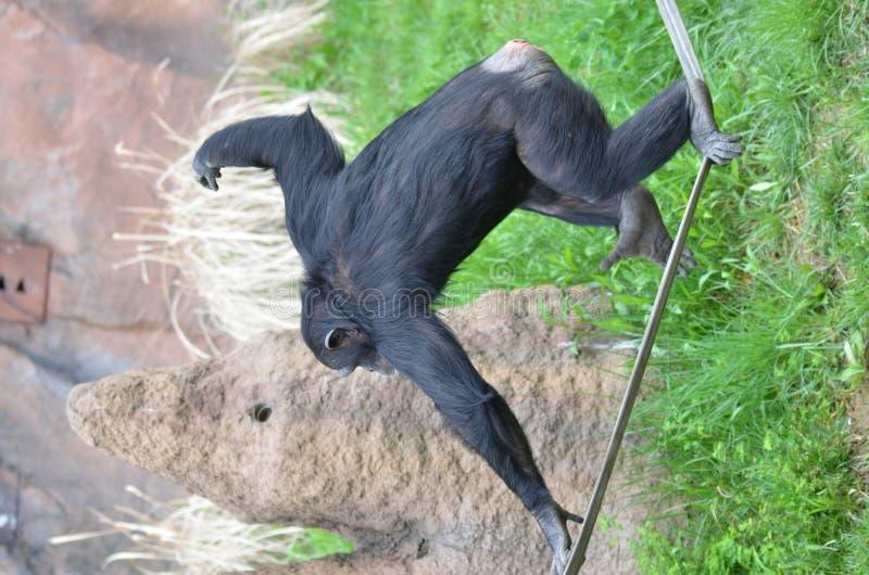 ισορροπώντας χιμπατζής στοκ εικόνες