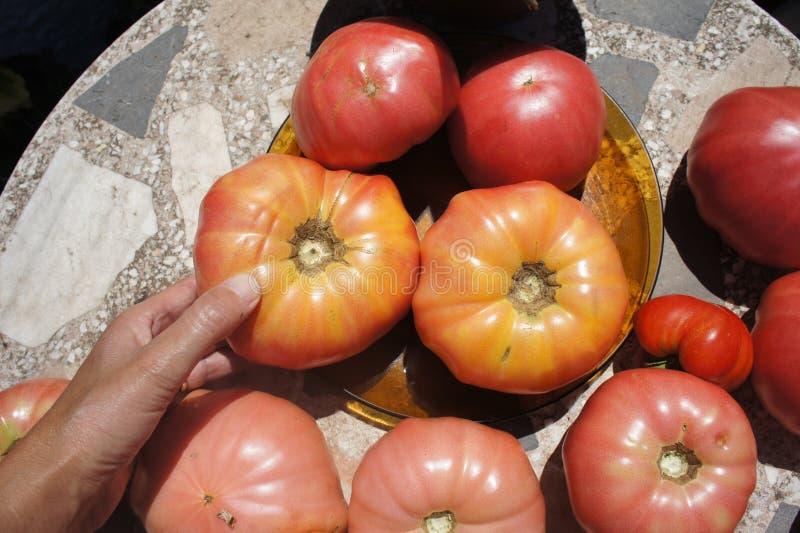 Ισπανικές ντομάτες που ποικίλλουν ripeness στοκ εικόνα