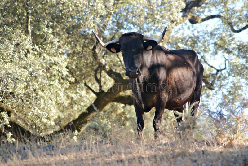 Ισπανική αγελάδα σε ένα λιβάδι στοκ φωτογραφίες