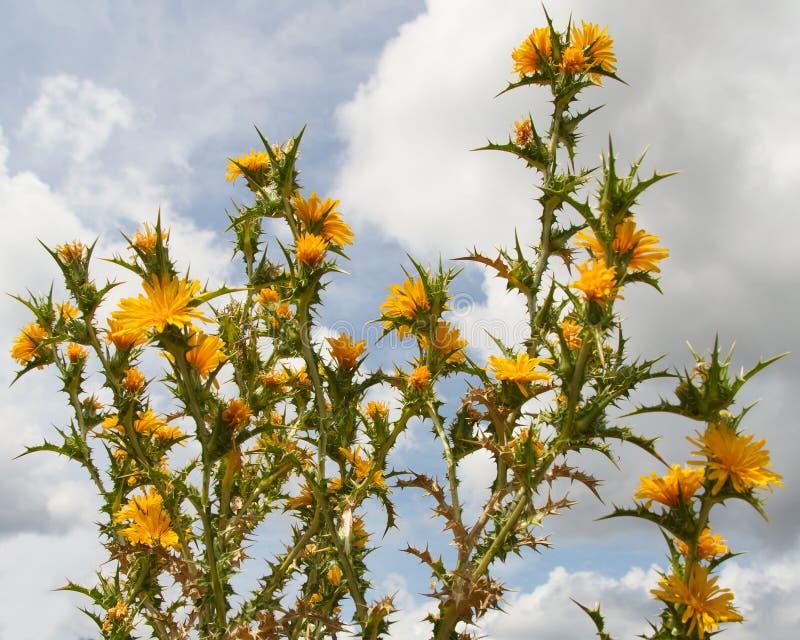 Ισπανικός κάρδος στρειδιών κάρδων με τα κίτρινα λουλούδια στοκ φωτογραφία με δικαίωμα ελεύθερης χρήσης