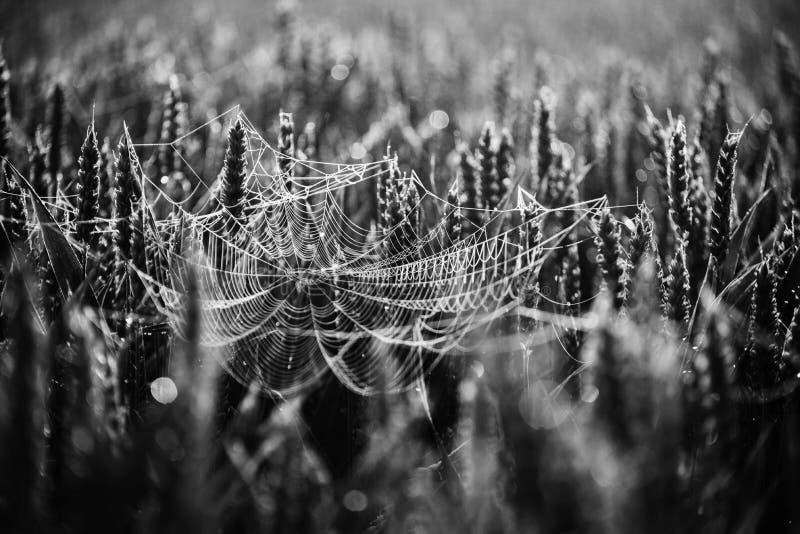 Ιστός αράχνης στο σιτάρι, γραπτό στοκ εικόνες