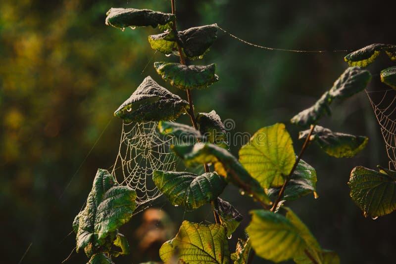 Ιστός cobweb σε κλαδί δέντρου στοκ εικόνες με δικαίωμα ελεύθερης χρήσης
