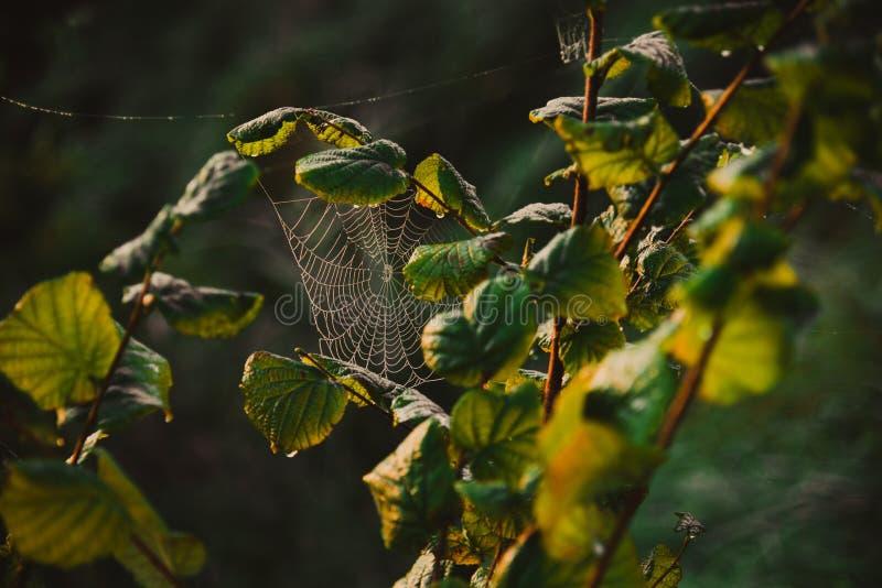 Ιστός cobweb σε κλαδί δέντρου στοκ εικόνα με δικαίωμα ελεύθερης χρήσης