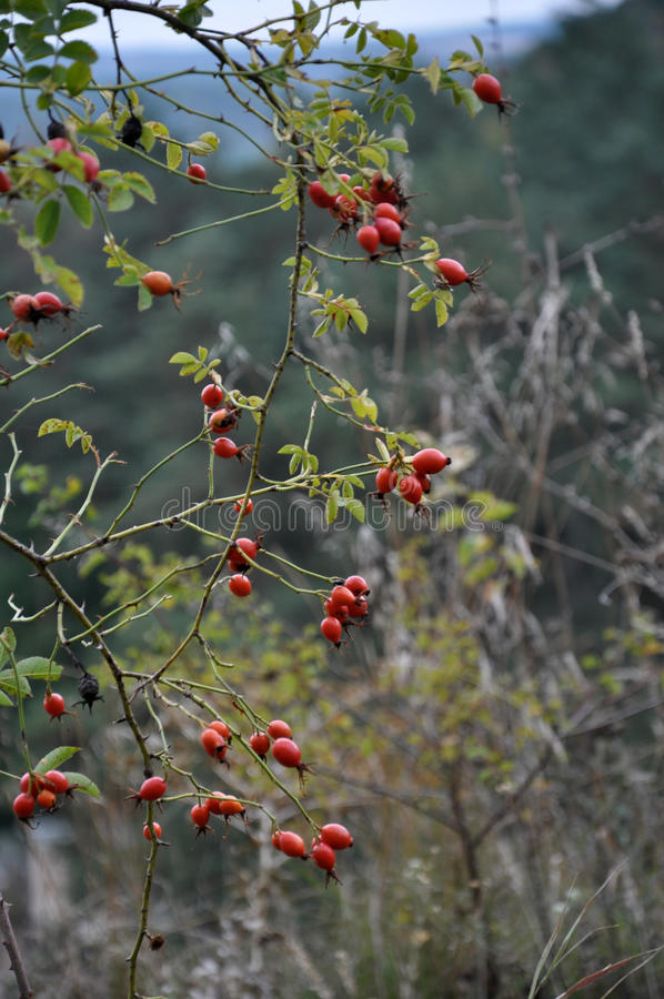 Ισχία του Μπους με τα φρούτα στοκ εικόνες με δικαίωμα ελεύθερης χρήσης