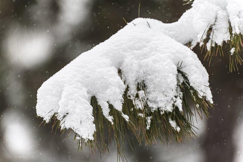 Ισχυρή χιονόπτωση στο δέντρο πεύκων στοκ φωτογραφίες με δικαίωμα ελεύθερης χρήσης