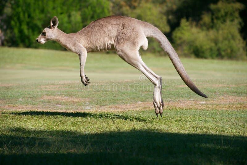 Ισχυρό αρσενικό Hopping καγκουρό στοκ φωτογραφία με δικαίωμα ελεύθερης χρήσης