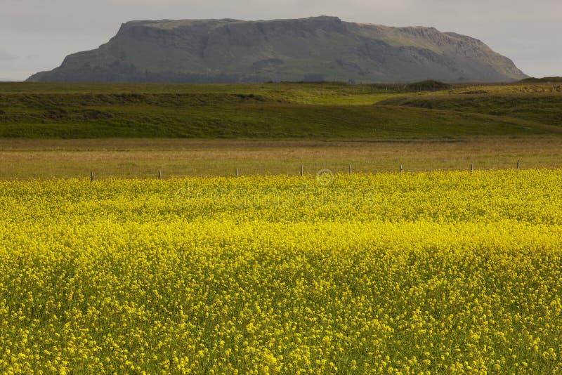 Ισλανδία. Κίτρινα λουλούδια, πράσινοι τομέας και βουνό. στοκ φωτογραφία