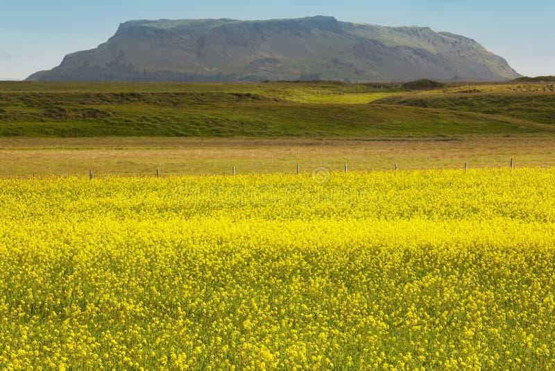 Ισλανδία Κίτρινα λουλούδια, πράσινοι τομέας και βουνό στοκ φωτογραφία