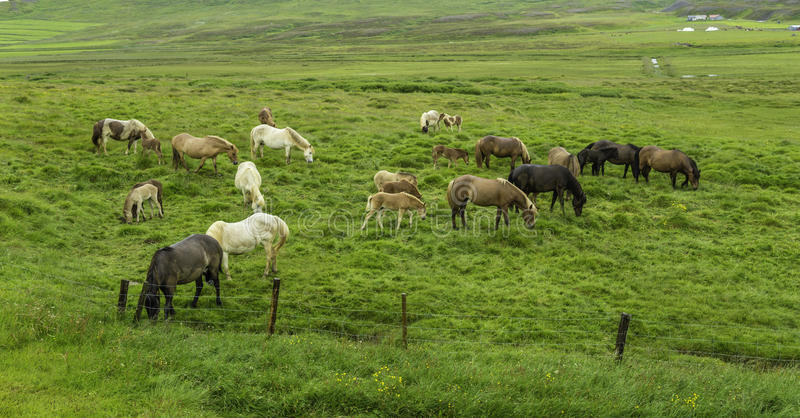 Ισλανδικά άλογα στοκ εικόνες με δικαίωμα ελεύθερης χρήσης