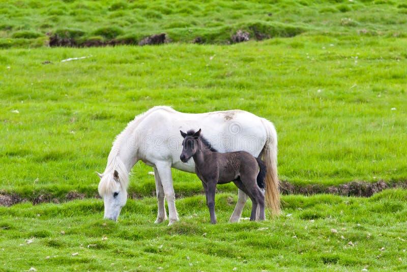 Ισλανδικό άλογο με το πουλάρι της στοκ εικόνα