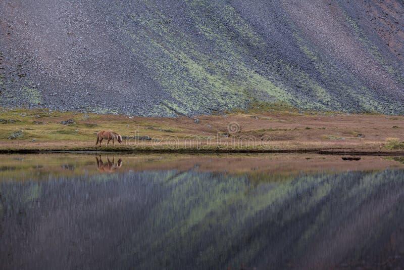 Ισλανδικό άλογο που βόσκει την άγρια Ισλανδία στοκ φωτογραφίες με δικαίωμα ελεύθερης χρήσης