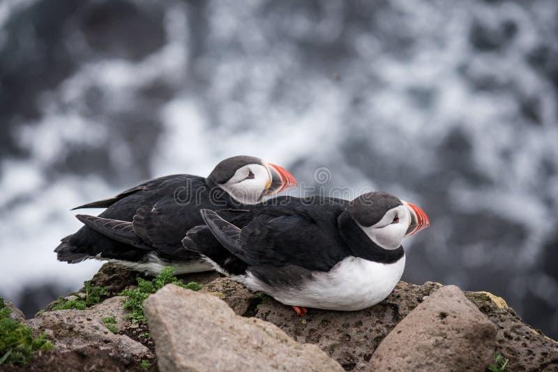 Ισλανδικό puffin στοκ φωτογραφία