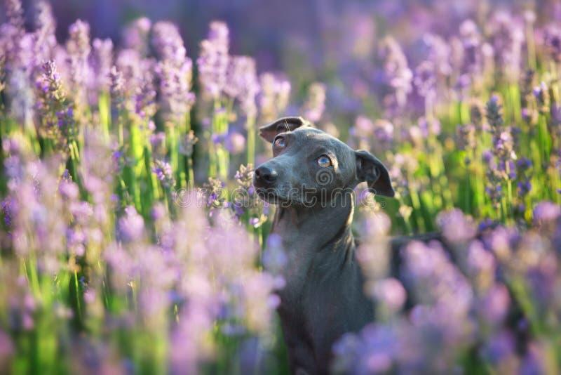 Ιταλικό greyhound στα λουλούδια στοκ φωτογραφία με δικαίωμα ελεύθερης χρήσης