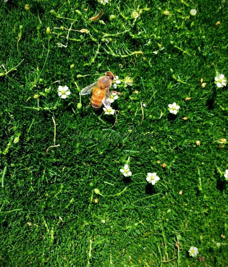 Ιταλική μέλισσα μελιού στα μικροσκοπικά άσπρα λουλούδια στο πράσινο βρύο όπως την κοντή χλόη, καταπληκτική μακρο λεπτομέρεια κινη στοκ εικόνες