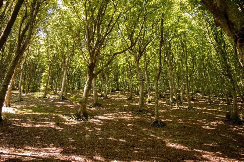 Ιταλικό δρύινο δάσος στοκ φωτογραφία