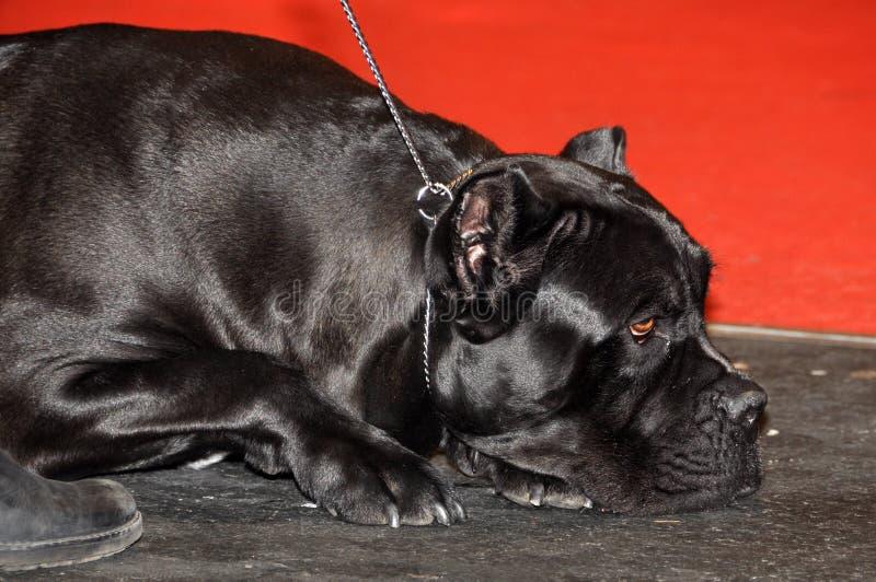 Ιταλικό σκυλί corso καλάμων στοκ εικόνες