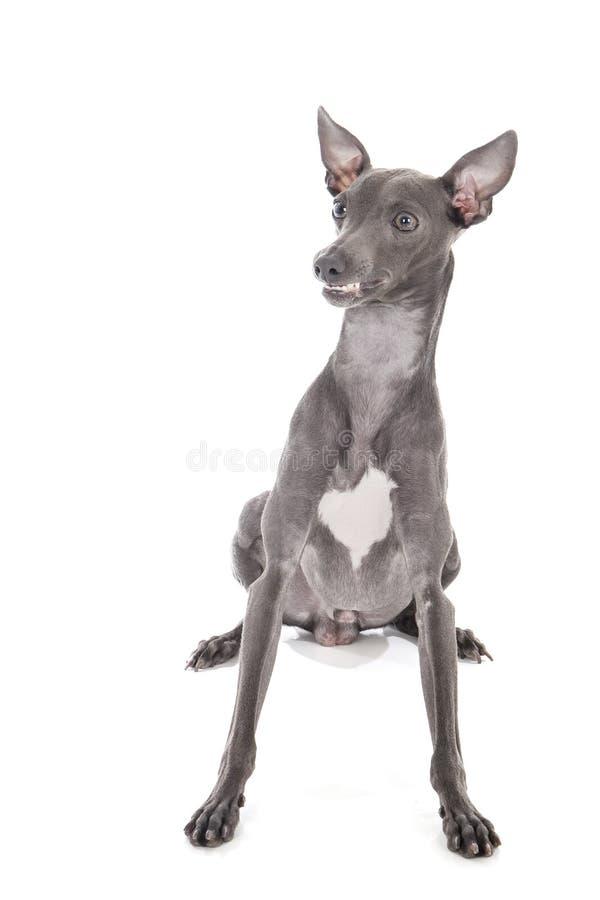 Ιταλικό greyhound μπλε χρώμα στοκ φωτογραφία με δικαίωμα ελεύθερης χρήσης