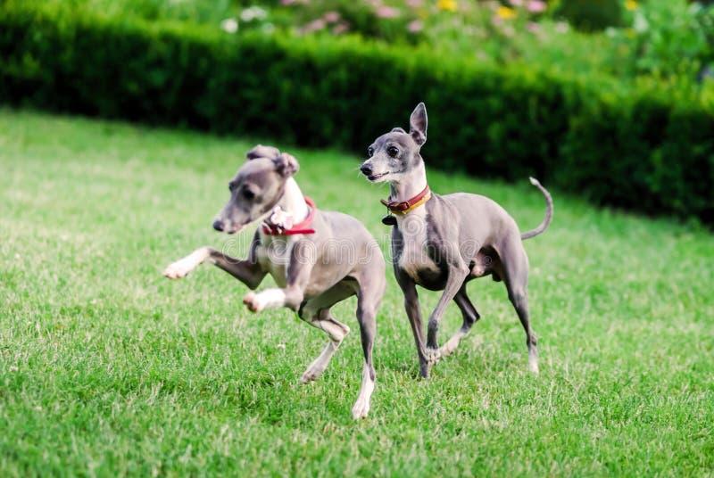 Ιταλικό Greyhound παιχνίδι στο πάρκο επαρχίας στοκ εικόνα με δικαίωμα ελεύθερης χρήσης