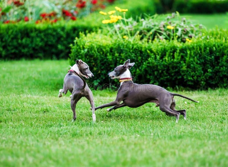Ιταλικό Greyhound παιχνίδι στο πάρκο επαρχίας στοκ φωτογραφία με δικαίωμα ελεύθερης χρήσης