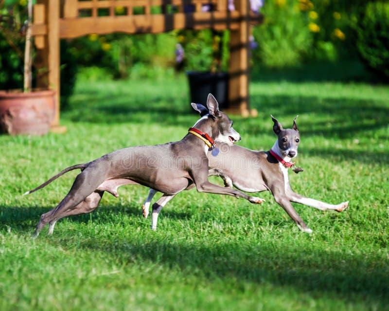 Ιταλικό Greyhound παιχνίδι στο πάρκο επαρχίας στοκ φωτογραφία