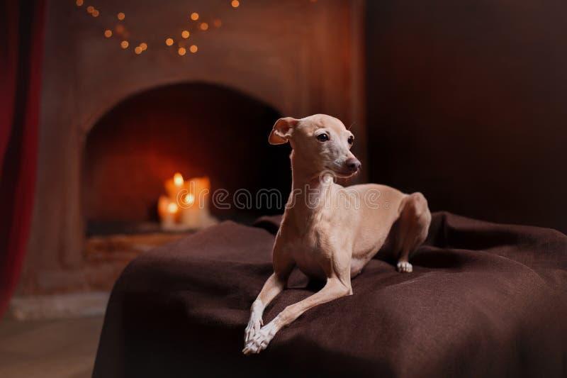 Ιταλικό greyhound σε ένα υπόβαθρο χρώματος στο στούντιο στοκ φωτογραφία
