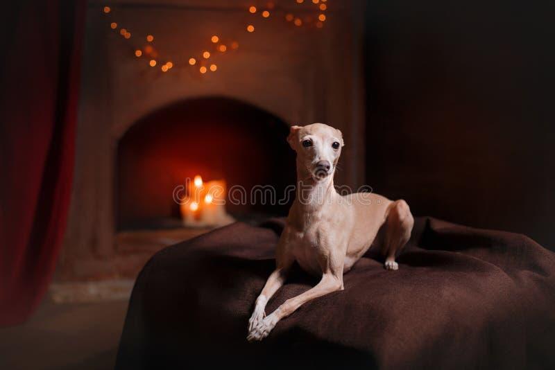 Ιταλικό greyhound σε ένα υπόβαθρο χρώματος στο στούντιο στοκ εικόνα με δικαίωμα ελεύθερης χρήσης