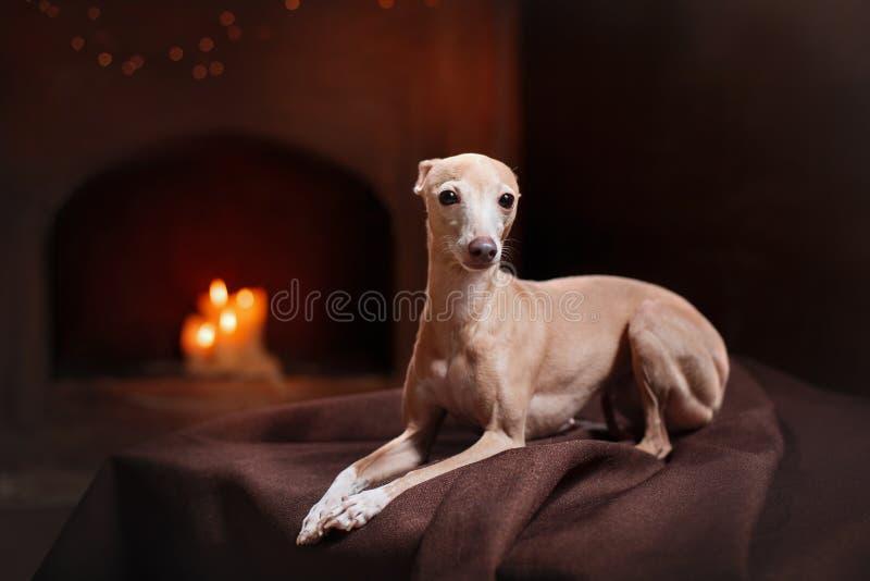 Ιταλικό greyhound σε ένα υπόβαθρο χρώματος στο στούντιο στοκ εικόνες με δικαίωμα ελεύθερης χρήσης