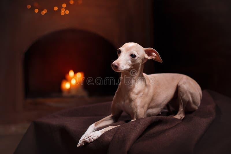 Ιταλικό greyhound σε ένα υπόβαθρο χρώματος στο στούντιο στοκ φωτογραφία με δικαίωμα ελεύθερης χρήσης