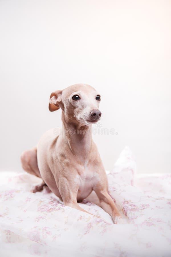 Ιταλικό greyhound σε ένα υπόβαθρο χρώματος στο στούντιο στοκ εικόνες