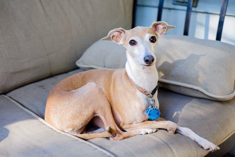 Ιταλικό greyhound στοκ εικόνες με δικαίωμα ελεύθερης χρήσης