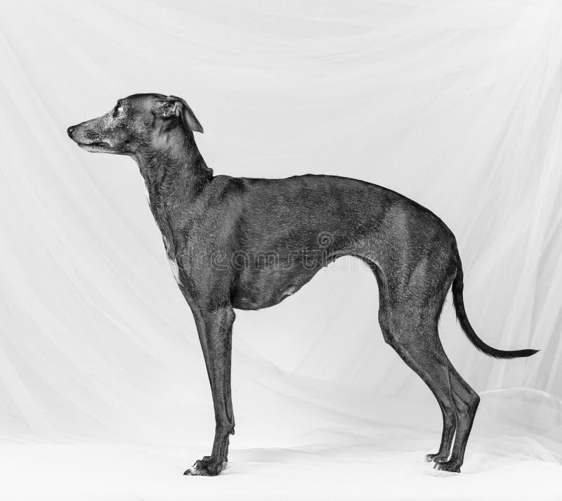 Ιταλικό greyhound στοκ εικόνες