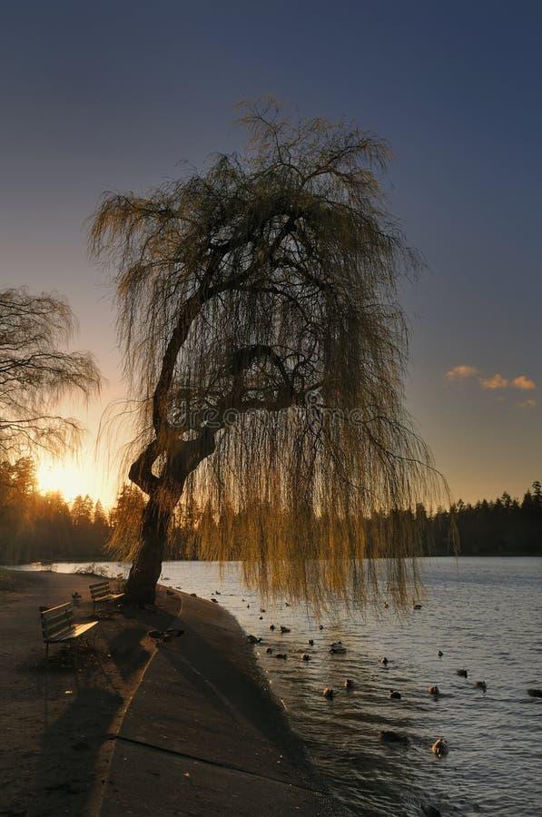 ιτιά δέντρων ηλιοβασιλέμα&ta στοκ εικόνα