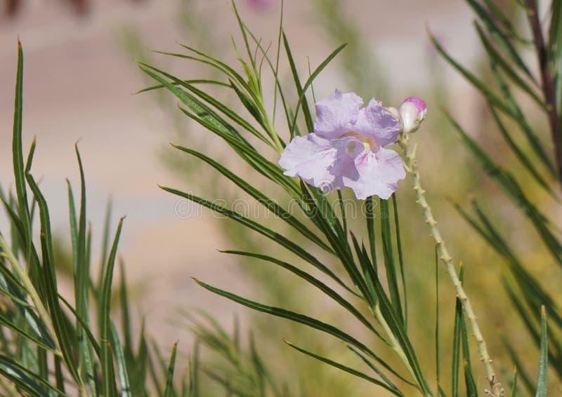 Ιτιά ερήμων (linearis Chilopsis) στοκ φωτογραφία με δικαίωμα ελεύθερης χρήσης