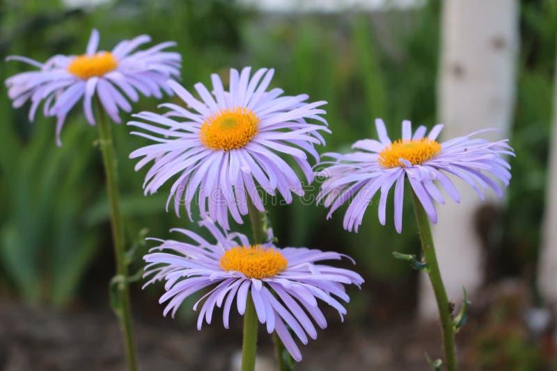 Ιώδεις ανθίσεις λουλουδιών στον κήπο στοκ εικόνα