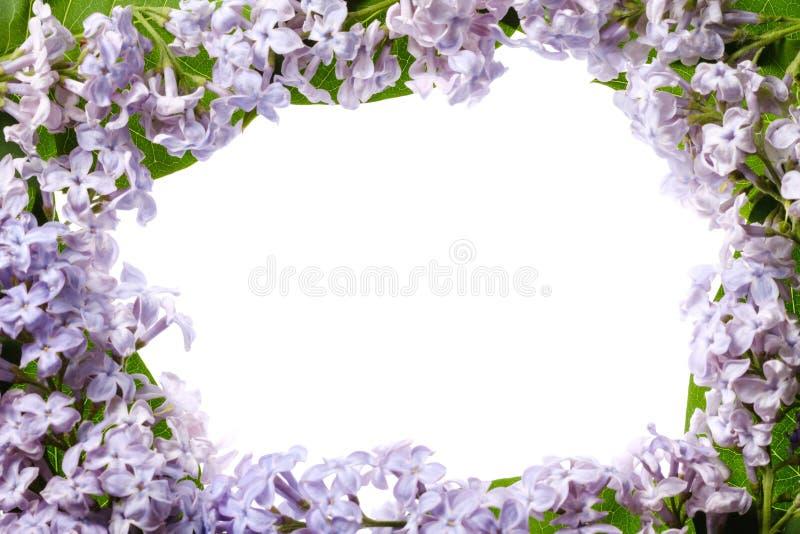 Ιώδες ανθίζοντας λουλούδι κλάδων που απομονώνεται στο λευκό, άνθος όμ στοκ φωτογραφίες με δικαίωμα ελεύθερης χρήσης