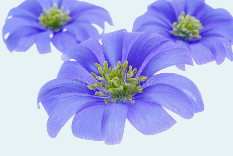 ιώδες λευκό λουλουδ&iot στοκ φωτογραφίες με δικαίωμα ελεύθερης χρήσης