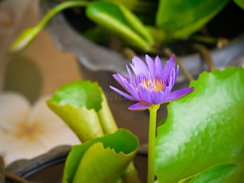 Ιώδες λουλούδι λωτού χρώματος waterlily με τη στενή επάνω άποψη στοκ εικόνα