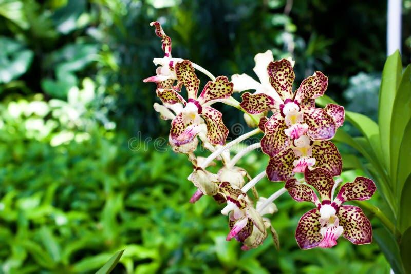 Ιώδες orchid σημείων στοκ εικόνες με δικαίωμα ελεύθερης χρήσης