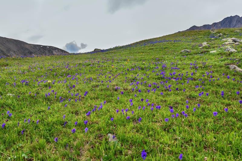 Ιώδης βουνοπλαγιά λιβαδιών viola λουλουδιών στοκ εικόνες