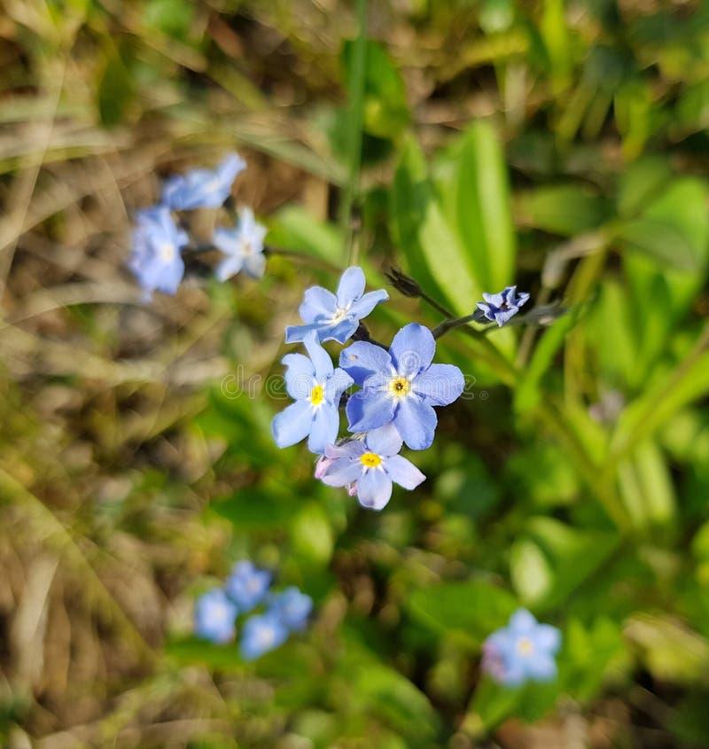 ιώδης κινηματογράφηση σε πρώτο πλάνο λουλουδιών Όμορφη λίγη βιολέτα ανθίζει στοκ φωτογραφίες με δικαίωμα ελεύθερης χρήσης