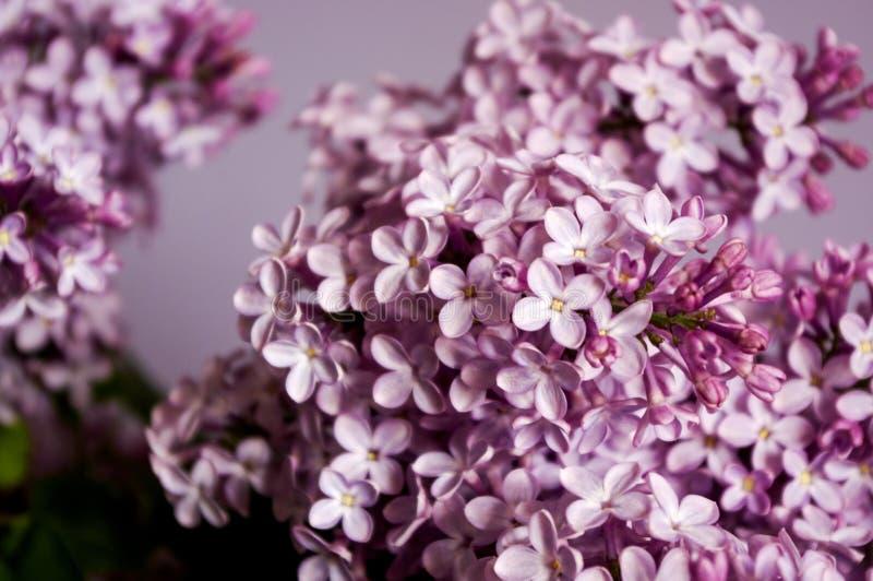 Ιώδης κλάδος άνοιξη της μακρο άποψης λουλουδιών στοκ εικόνες