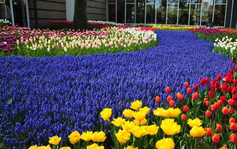 Ιώδης πορεία στον κήπο Keukenhof οι κήποι παγκόσμιων ` s μεγαλύτεροι λουλουδιών, που τοποθετούνται σε Lisse, Κάτω Χώρες στοκ εικόνα με δικαίωμα ελεύθερης χρήσης