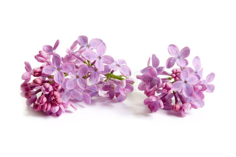 Ιώδη άνθη στο άσπρο υπόβαθρο στοκ εικόνες με δικαίωμα ελεύθερης χρήσης