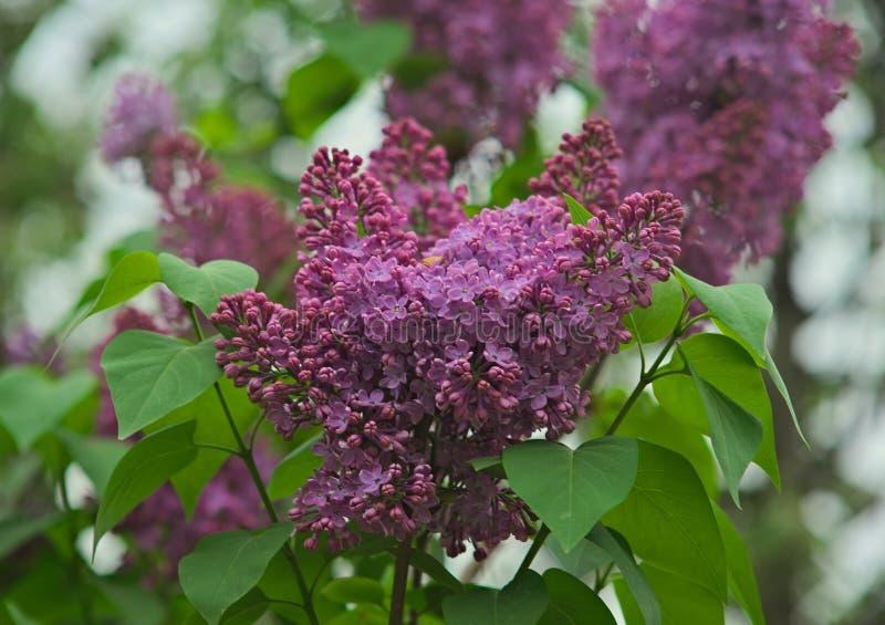 Ιώδη ανθίζοντας ιώδη λουλούδια δέντρων κατά τη διάρκεια του χρόνου άνοιξη στοκ φωτογραφίες