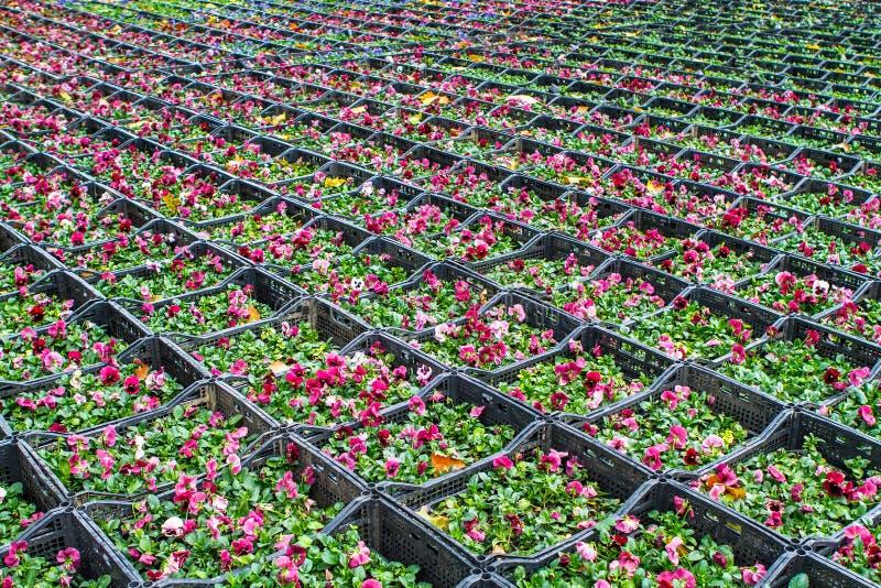 Ιώδη κλουβιά λουλουδιών στοκ φωτογραφίες με δικαίωμα ελεύθερης χρήσης