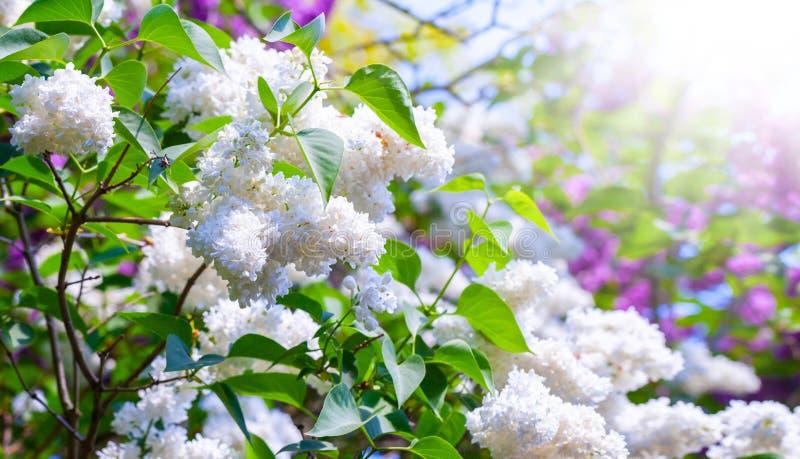 Ιώδη λουλούδια - άσπρη πασχαλιά στην ηλιοφάνεια στοκ εικόνα