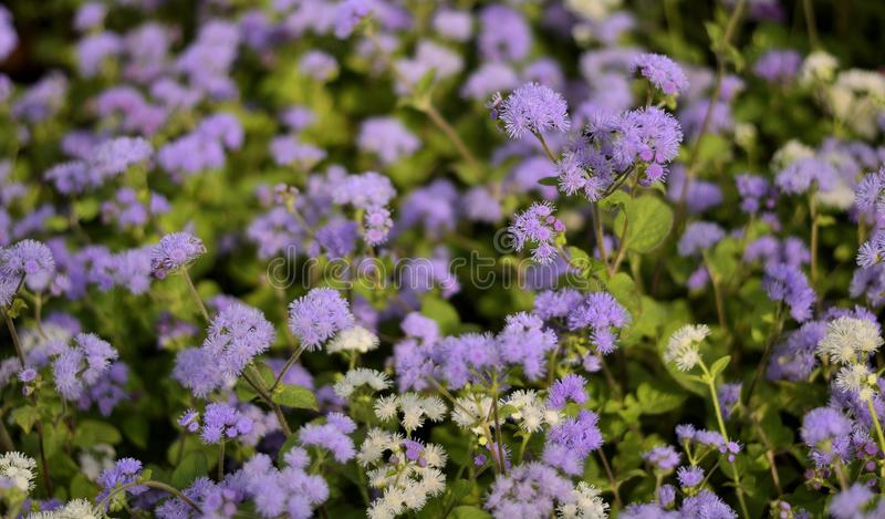 Ιώδη λουλούδια μικροσκοπικά - υπόβαθρο στοκ εικόνες