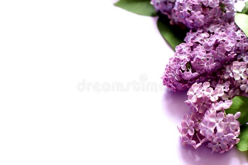 Ιώδη λουλούδια στο άσπρο υπόβαθρο στοκ φωτογραφία με δικαίωμα ελεύθερης χρήσης